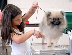 Young girl grooming dog at Sedalia Kennel Club AKC show